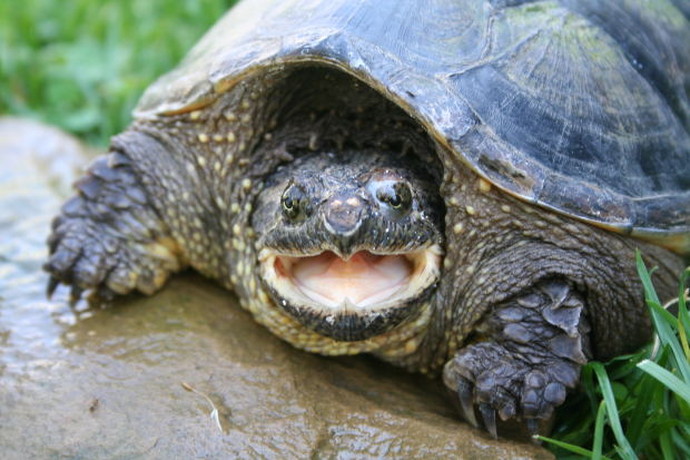 snapping turtle migration, snapping turtle endangered,