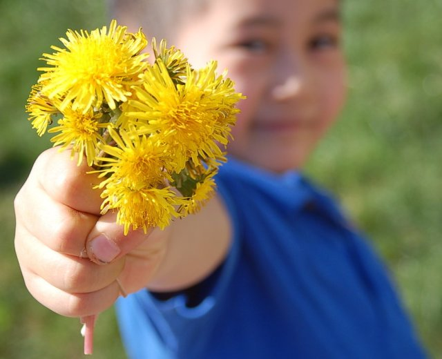 dandelion recipe, dandelions for health, eat dandelions, don't kill dandelions,
