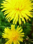 eat dandelions, healthy dandelions, dandelion flower recipe, fried dandelions, dandelion blossom recipe,