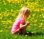 dandelions for health, cure yourself with dandelions, dandelion benefits,