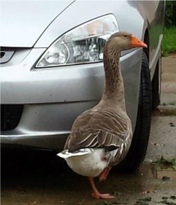 Louise the Goose and Honda,