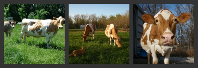 family cow, homestead dairy,
