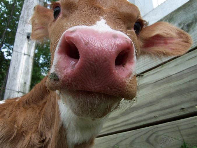 bull steer